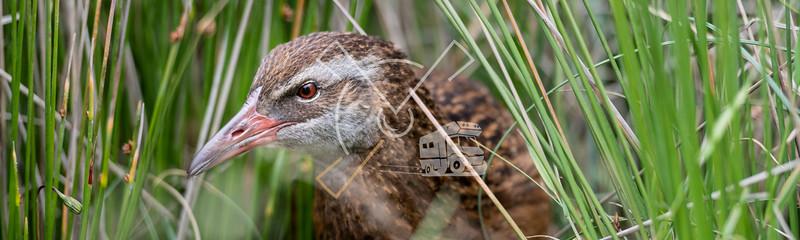 Western weka or southern weka bird hiding in the vegetation.