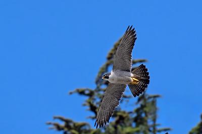 2021 Peregrine Falcons