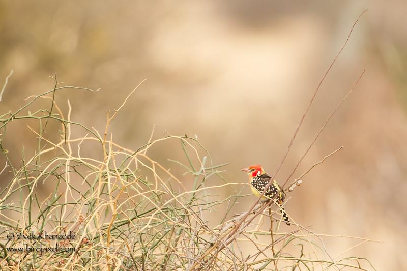 Red-and-yellow Barbet - Tarangire National Park, Tanzania