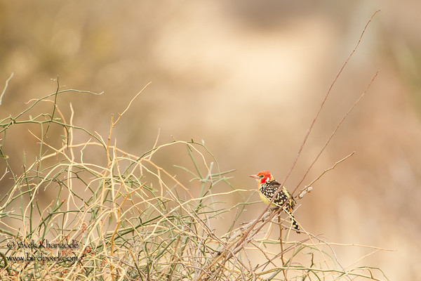 African Barbets - Lybiidae