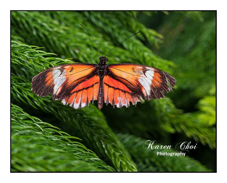 sm Orange Butterfly on evergreen.jpg