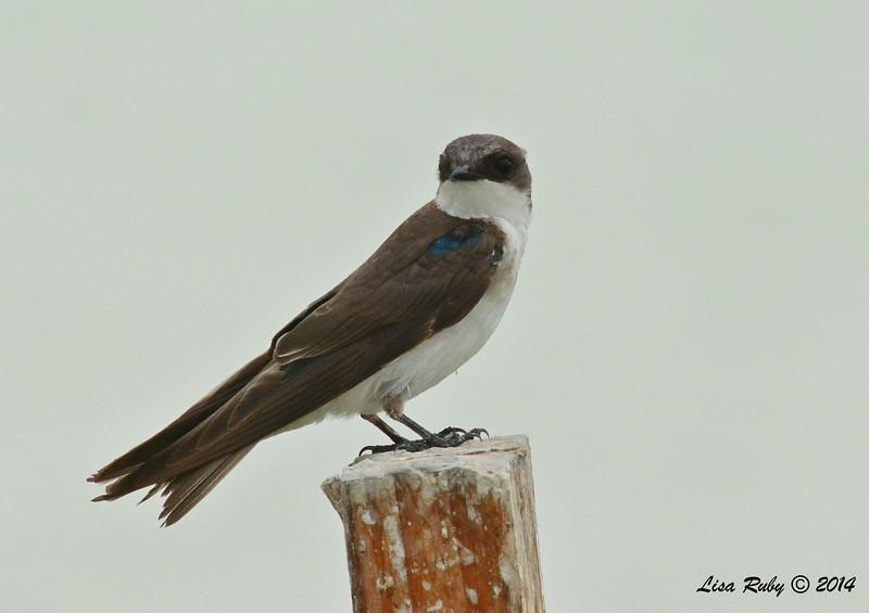 Tree Swallow  - 7/27/2014 - Morton Bay, Imperial Valley