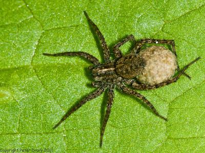 Spotted Wolf Spider (Pardosa amentata)