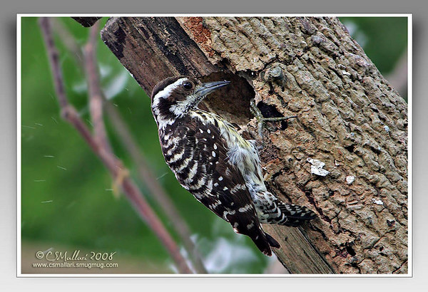 Woodpeckers - Family: Picidae