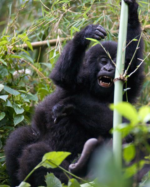 Gorillas  8411.jpg