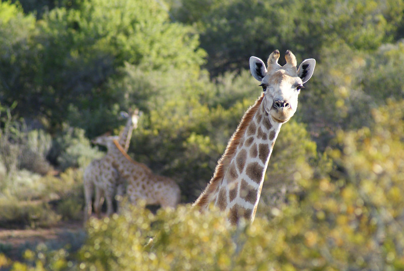 So, after about 30 minutes we got close to the giraffes.