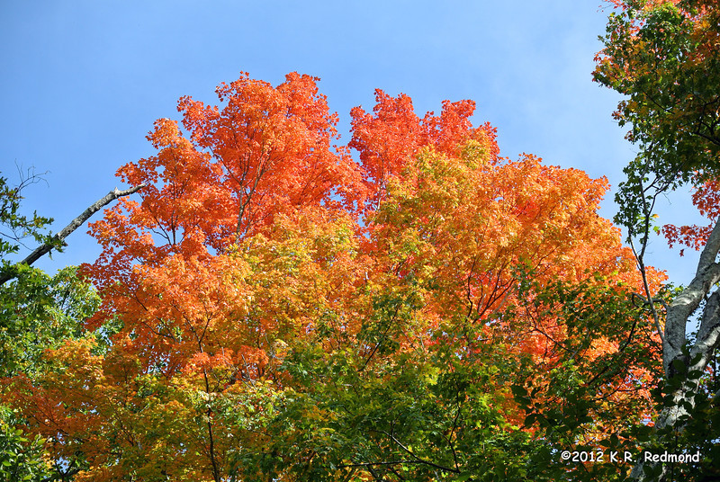 Sugar Maple High Above the Rest Stop