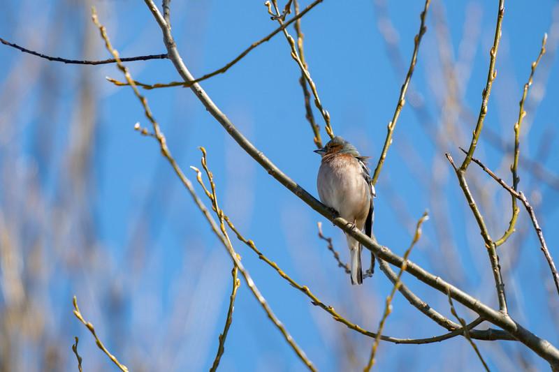 zięba | common chaffinch | fringilla coelebs