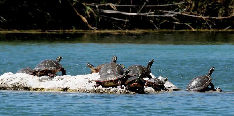 Turtles IMG_3248.jpg