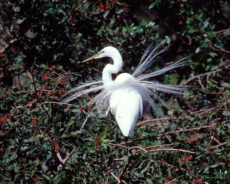 Egret-Plumage-1.jpg