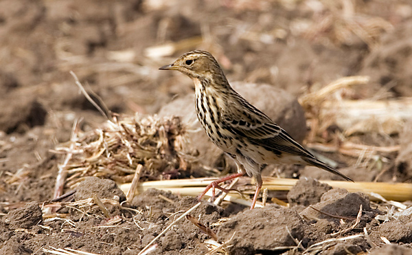 Red-throated Pipit 3 Northern cost Israel_12.06_Bartov.jpg