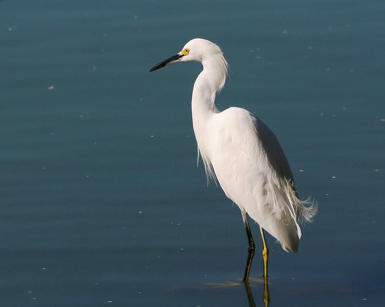 9260 Snowy Egret.jpg