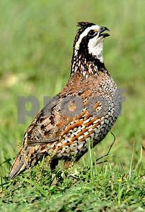 oklahoma-quail-numbers-soar-again