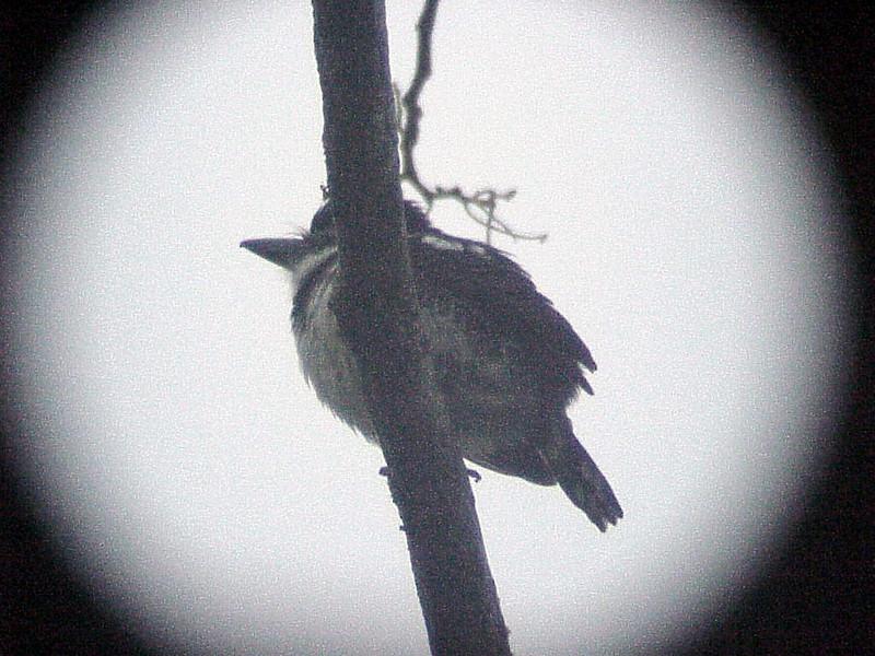 Pied Puffbird at La Selva Costa Rica 2-12-03 (50898216)