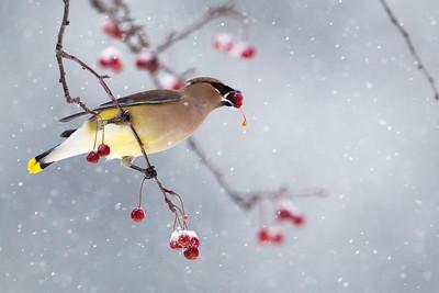 Waxwing, Cedar [Snow, Crabapples]