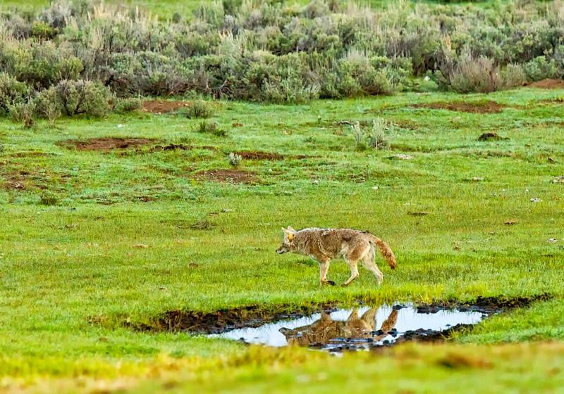 Coyote reflection Yellowstone