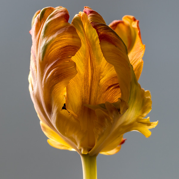 tulip-02.jpg