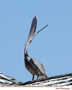 Pelicaniformes