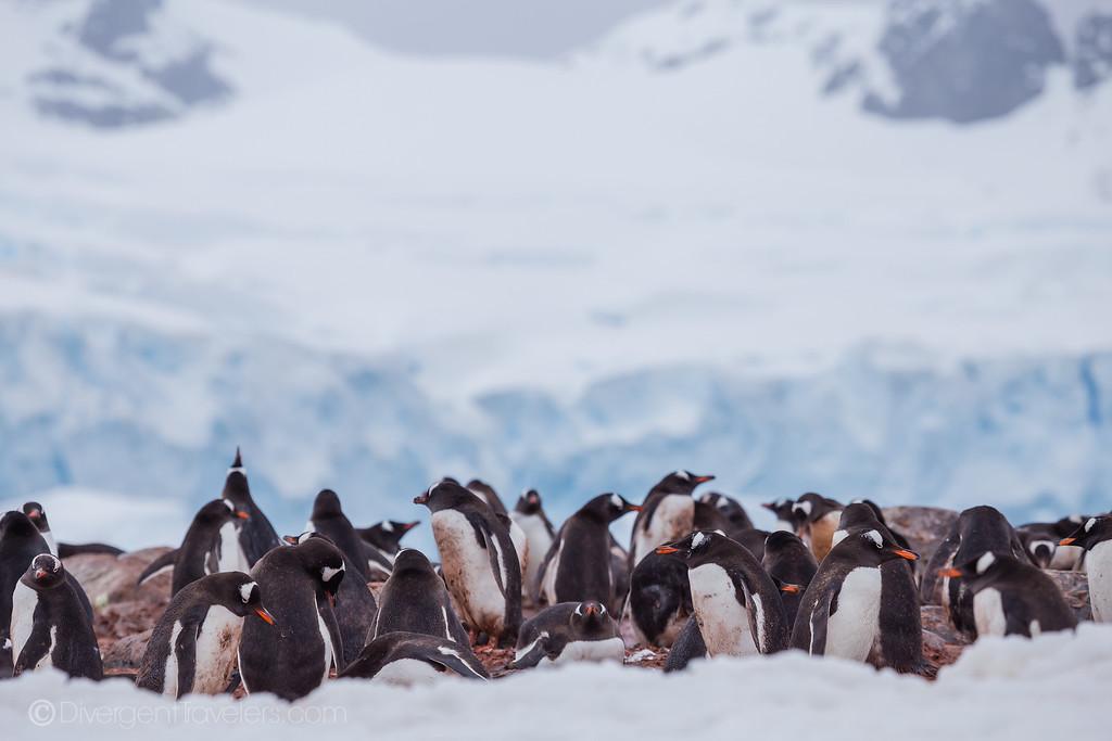 Going to Antarctica - Gentoo Penguins - Lina Stock