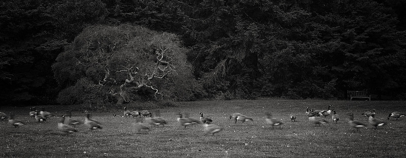 Running Geese