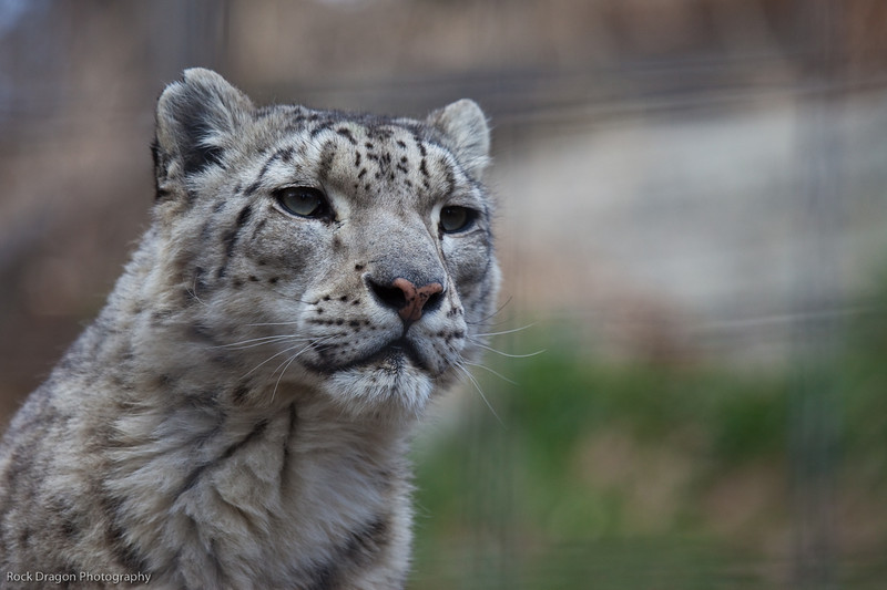 Snow Leopard, Calgary Zoo, April 26