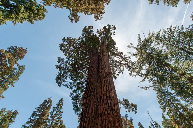 Looking up giant sequoia tree in Yosemite National Park