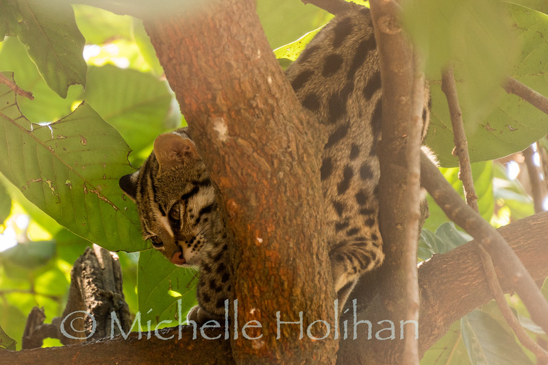 Leopard Cat at Phnom Tamao Zoological Park and Wildlife Rescue Center, Cambodia