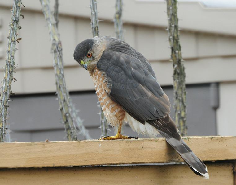 Cooper's Hawk  - 12/24/2012 -  Backyard Sabre Springs