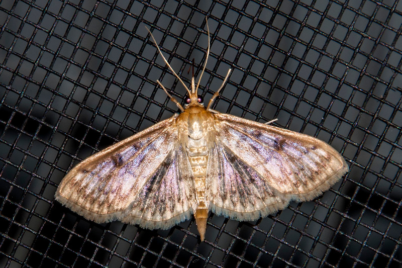 Grass Moth-Bold-feathered-(Herpetogramma pertextalis)- Dunning Lake - Itasca County, MN