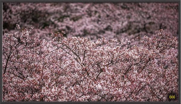 Sakura April 2015