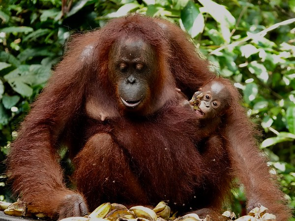 Orangutan Mom, infant & child