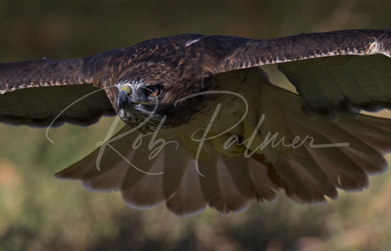 Intensity of a Redtail