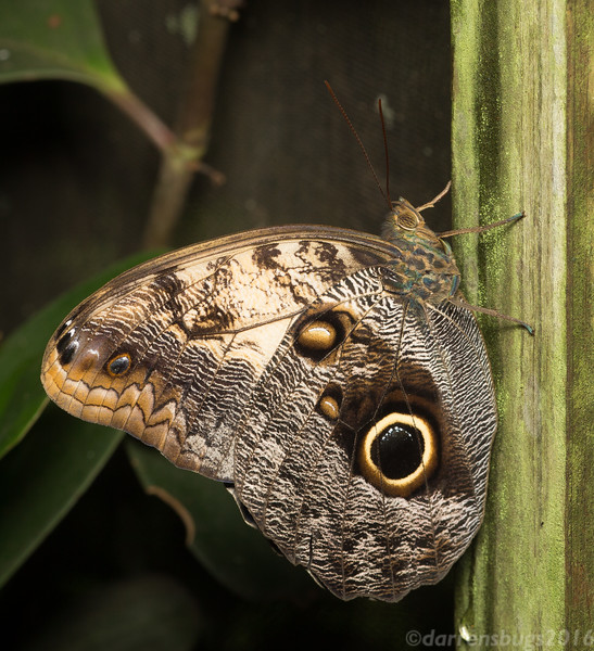 Owl Butterfly, Caligo memnon, from Belize. The conspicuous eye-spots are thought to deter potential predators either by mimicking a larger animal or by directing blows away from the more vital areas of the butterfly.