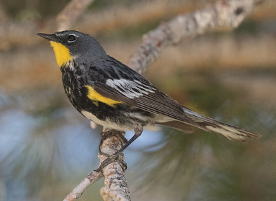 Yellow-rumped Warbler Setophaga coronata