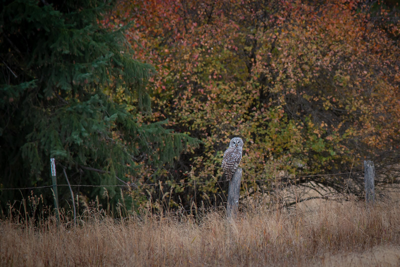"""Fall owl"""