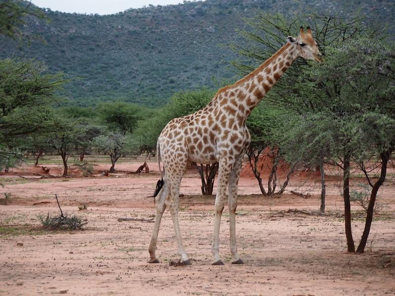 P3281126-giraffe.JPG