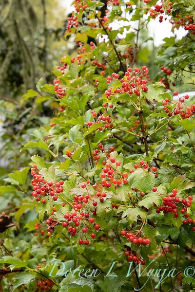Viburnum opulus 'Compactum' with berries_2668.jpg