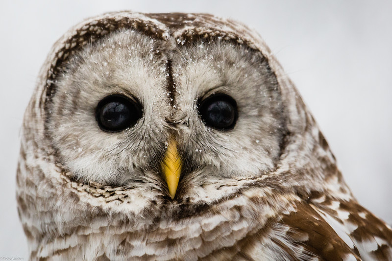 Does this Count as a Snowy Owl?