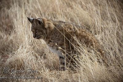 Bobcat 12-18-2017