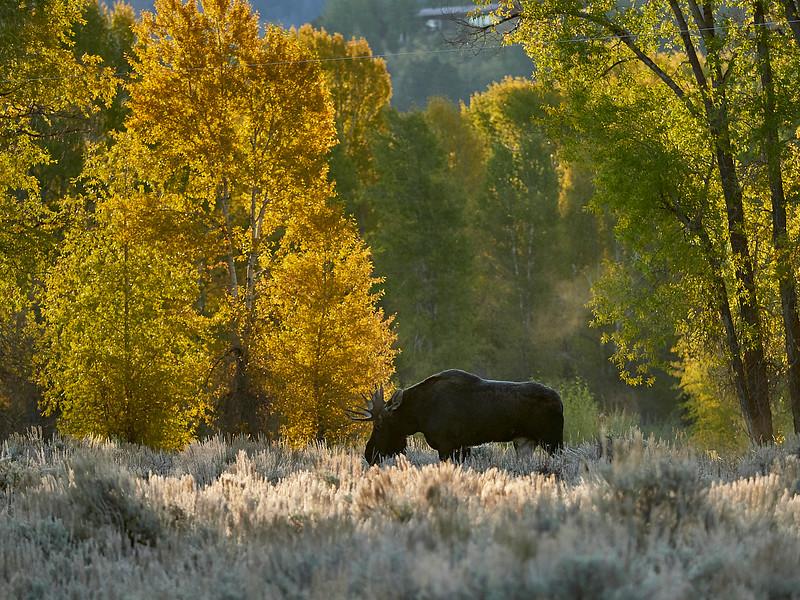 Elk stag grazing