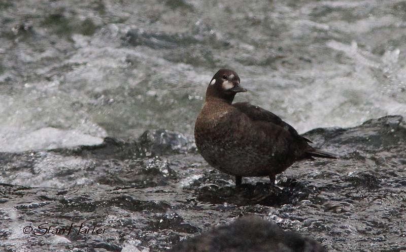 Female Harlequin Duck.jpg