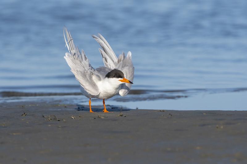 Forsters Tern Five - Copy.jpg