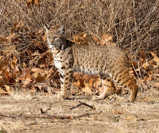 California Bobcat