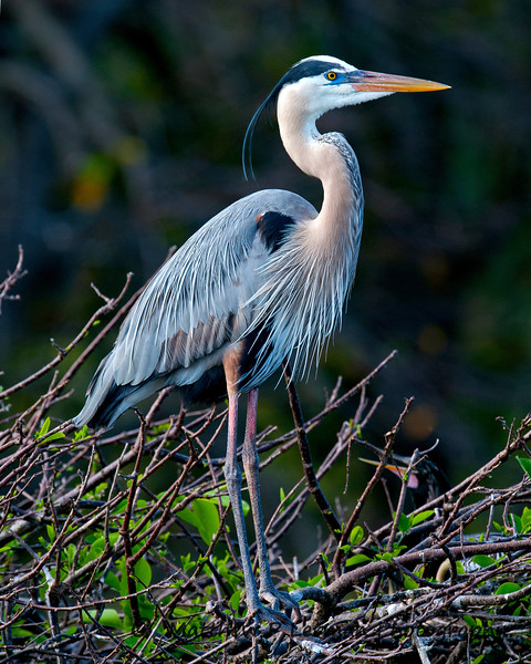 Great Blue Heron_5907.jpg
