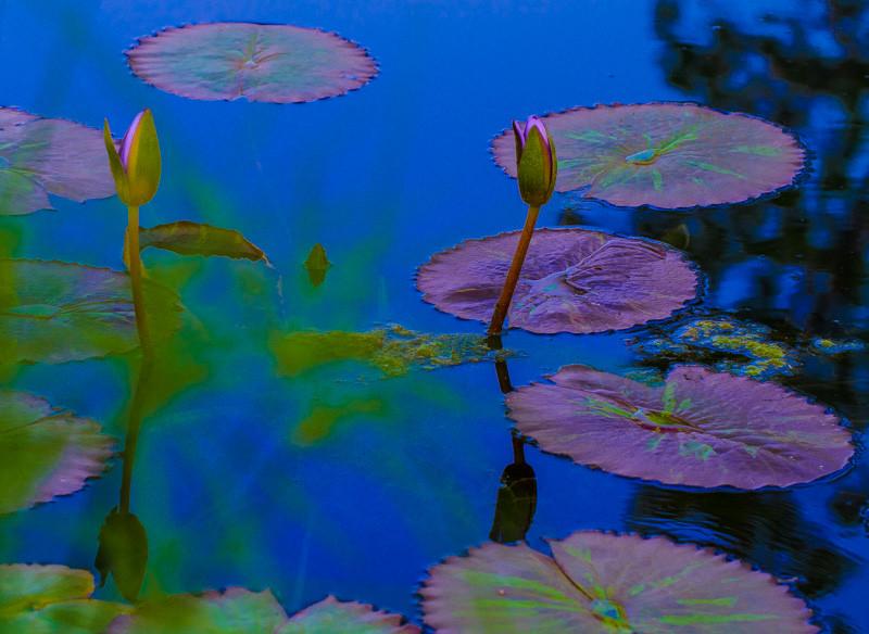 Lily  Pond 21