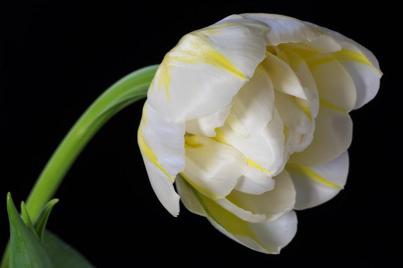 yellow and white peony tulip