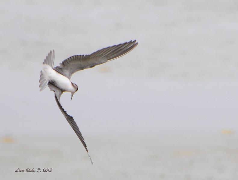 Black Tern - 8/25/13 - Oceanside Harber, San Luis Rey River Mouth -