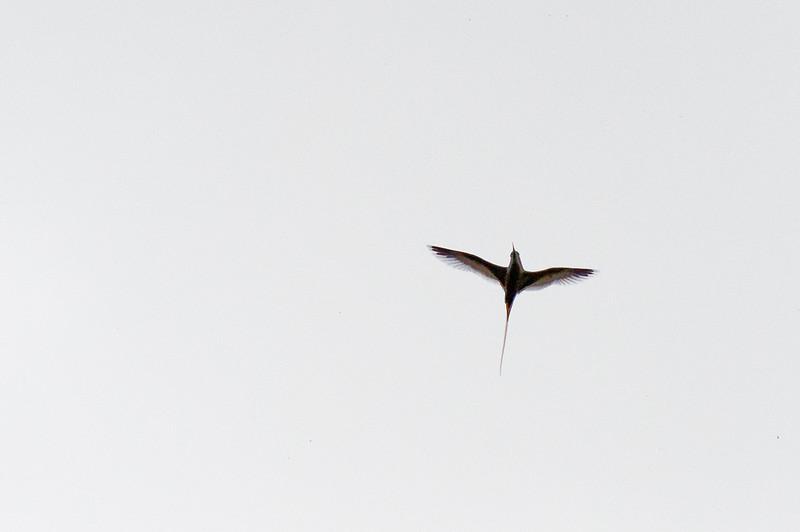 Tropicbird