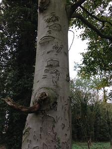 Beech Bark Graffiti
