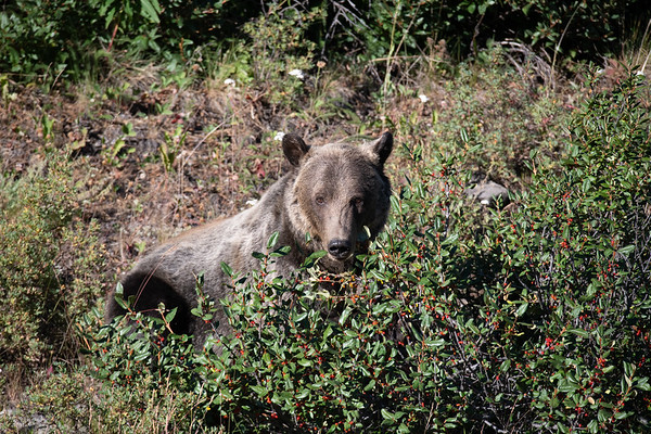 8-12-20 Grizzly Bears & Cubs Album II